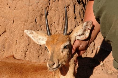 forskellige dyr med horn